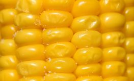 Granos del maíz maduro hervido fotografía de archivo libre de regalías