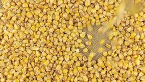 Granos del maíz que caen en el círculo giratorio del maíz que miente en harpillera almacen de metraje de vídeo