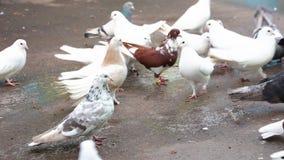 Granos del peck de las palomas metrajes