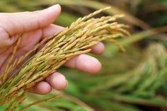 Granos del punto del arroz en manos Fotos de archivo libres de regalías