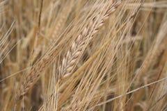 Granos del trigo Fotos de archivo