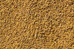 Granos del trigo como fondo agrícola Fotos de archivo libres de regalías