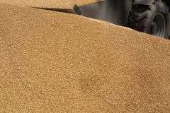 Granos del trigo como fondo agrícola Imagen de archivo libre de regalías
