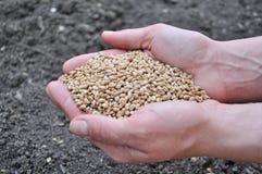 Granos del trigo en manos foto de archivo