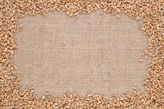 Granos del trigo en un fondo de despido Fotografía de archivo libre de regalías