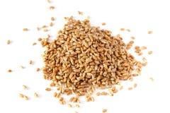 Granos del trigo germinado Foto de archivo