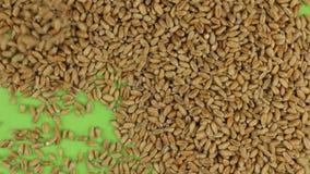 Granos del trigo que caen en una pantalla verde giratoria, aislada almacen de video