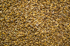 Granos orgánicos procesados del trigo como fondo agrícola Imágenes de archivo libres de regalías