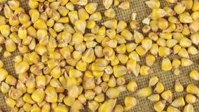 Granos que caen del maíz en una arpillera giratoria del paño metrajes