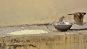 Granos y agua para los gorriones de casa imagen de archivo