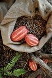 Granos y frutas de cacao Imagen de archivo libre de regalías