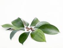 Granos y hojas de café Fotos de archivo libres de regalías
