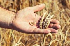 Granos y oídos del trigo en la mano masculina Fotografía de archivo