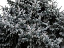 Granris som täckas med rimfrost Arkivbilder