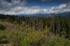 Granskog i de Carpathian bergen Royaltyfria Foton
