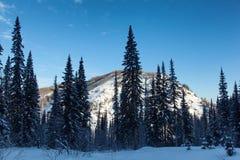 Granskog i vintermorgon Arkivfoto