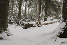 Granskog på vintertid Arkivbild