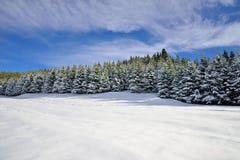 Granskog som täckas med snö Fotografering för Bildbyråer