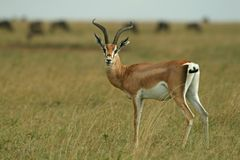 Grant�s gazelle Royalty Free Stock Photos