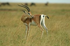 Grant�s gazelle Stock Photography