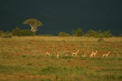 Grant�s gazelle Royalty Free Stock Photos