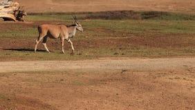 Grant's gazelle, Nanger granti Royalty Free Stock Image