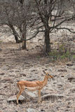 Grant�s gazelle standing in a dry landscape Royalty Free Stock Photos