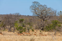 Grant's gazelles in National park kruger Stock Photos
