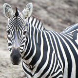Grant�s Zebra (Equus burchelli boehmi) Stock Photo