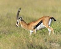 Grant gazela Fotografia Royalty Free