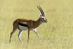 Grant gazela Fotografia Stock