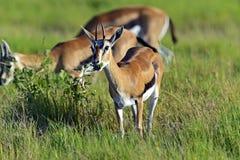 Grant gazela Obraz Stock