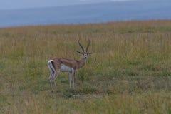 Grant gazela w Mara głąbiku obraz stock