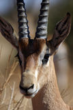Grant Gazelle. Portrait of a grant gazelle Royalty Free Stock Photos