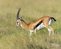Grant Gazelle Royalty Free Stock Photography