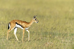 Grant Gazelle Stock Photography
