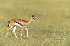Grant Gazelle. African Grant Gazelle in Amboseli National Park . Kenya Stock Photography