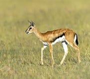 Grant Gazelle. African Grant Gazelle in Amboseli National Park . Kenya Royalty Free Stock Images
