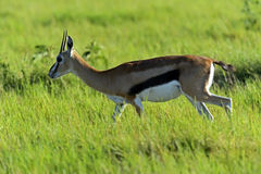 Grant Gazelle Stock Photo