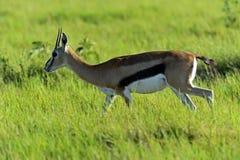 Grant Gazelle. African Grant Gazelle in Amboseli National Park . Kenya Stock Photo