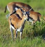 Grant Gazelle. African Grant Gazelle in Amboseli National Park . Kenya, Africa Stock Photography