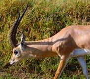 Grant-gazelle, Amboseli National Park, Kenya Stock Image