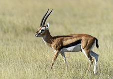 Grant Gazelle in de savanne Stock Afbeeldingen