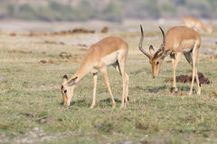 Grant Gazelle following doe in summer Royalty Free Stock Photo