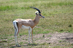 Grant-gazelle, Maasai Mara Game Reserve, Kenya Royalty Free Stock Photography