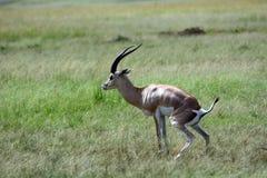 Grant-gazelle, Maasai Mara Game Reserve, Kenya Stock Images