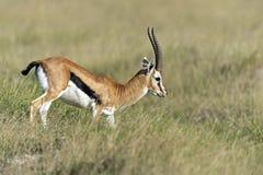 Grant Gazelle in the savannah. African Grant Gazelle in Amboseli National Park . Kenya Stock Image