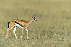 Grant Gazelle in the savannah Stock Images