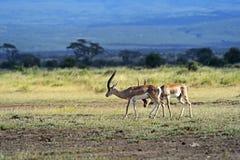 Grant gazelle in the savannah. Grant gazelle in the African savannah in their natural habitat Stock Photos