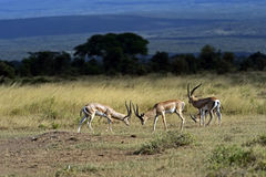 Grant gazelle in the savannah. Grant gazelle in the African savannah in their natural habitat Stock Image